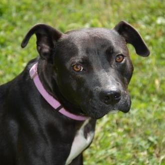 Labrador Retriever Mix Dog for adoption in Valley View, Ohio - Pat
