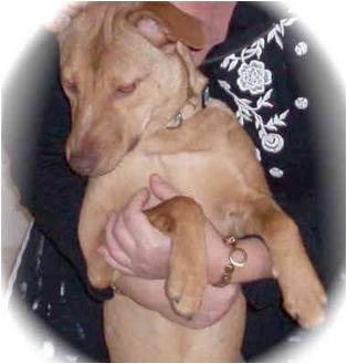 Greyhound/Basenji Mix Dog for adoption in Dayton, Ohio - India