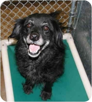 Spaniel (Unknown Type) Mix Dog for adoption in Staunton, Virginia - Jamaica