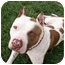 Photo 1 - American Pit Bull Terrier Dog for adoption in All of Colorado, Colorado - Bosley