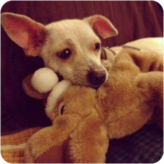 Italian Greyhound/Chihuahua Mix Dog for adoption in Los Angeles, California - Ruby