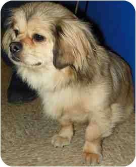 Tibetan Spaniel Dog for adoption in Loudonville, New York - Berta
