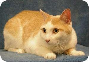 Domestic Shorthair Cat for adoption in Sacramento, California - Jake