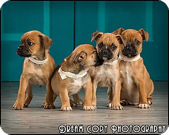 Pug Mix Puppy for adoption in Owensboro, Kentucky - Puppies!