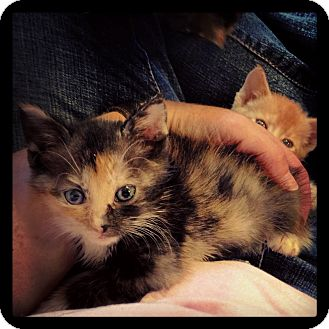 Domestic Shorthair Kitten for adoption in Knoxville, Tennessee - Paris