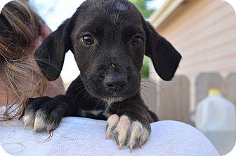 Labrador Retriever Mix Puppy for adoption in Westminster, Colorado - Tessa