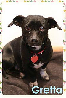 Dachshund/Miniature Pinscher Mix Puppy for adoption in Troy, Michigan - Gretta