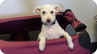 Poodle (Miniature) Mix Dog for adoption in Meridian, Idaho - Jack