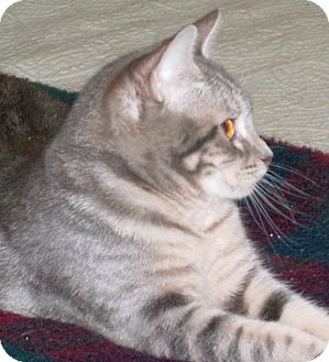 Domestic Shorthair Cat for adoption in Buhl, Idaho - Sage