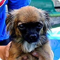 Adopt A Pet :: Zoey - white settlment, TX