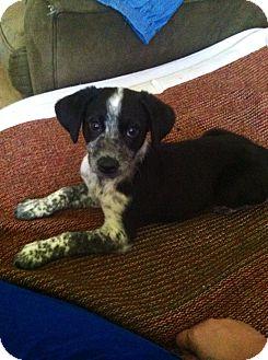 Australian Cattle Dog/Bluetick Coonhound Mix Puppy for adoption in bridgeport, Connecticut - Sage