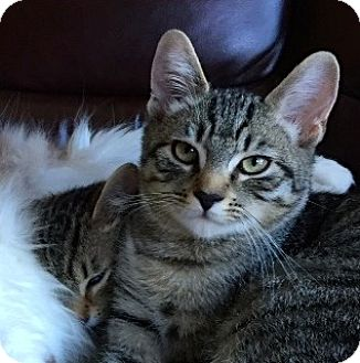 Domestic Mediumhair Kitten for adoption in Novato, California - Max & Maggie