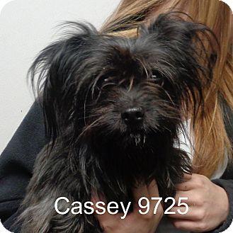 Yorkie, Yorkshire Terrier/Shih Tzu Mix Dog for adoption in Greencastle, North Carolina - Casey