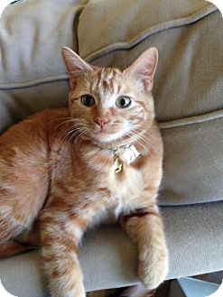 Domestic Shorthair Kitten for adoption in Marietta, Georgia - Frankie