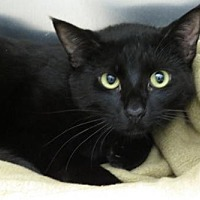 Bombay Cat for adoption in Santa Monica, California - Poe (Gentle Boy!)