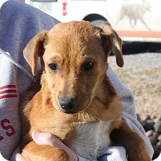 Feist/Labrador Retriever Mix Puppy for adoption in kennebunkport, Maine - Piper Puppy