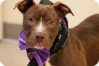 Labrador Retriever/Retriever (Unknown Type) Mix Dog for adoption in Lebanon, Connecticut - Cole