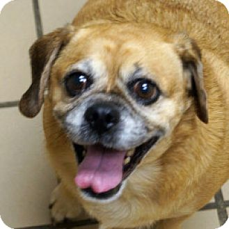 Pug/Beagle Mix Dog for adoption in Eatontown, New Jersey - Lexi