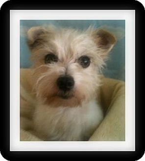 Westie, West Highland White Terrier/Terrier (Unknown Type, Small) Mix Dog for adoption in Winchester, California - RIGBY