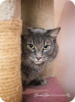 Domestic Longhair Cat for adoption in Sterling Heights, Michigan - Jason