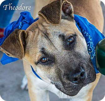 Pit Bull Terrier Mix Dog for adoption in Lancaster, Texas - Theodore