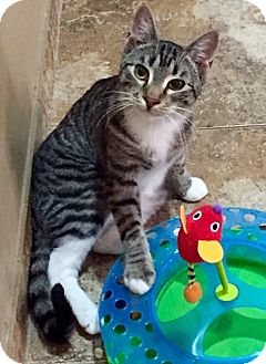 Domestic Shorthair Cat for adoption in Wayne, New Jersey - Jackson