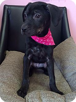 Labrador Retriever/Hound (Unknown Type) Mix Puppy for adoption in Manassas, Virginia - Sophia