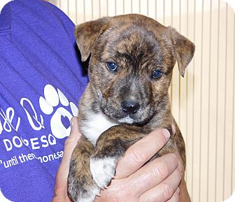 Boxer Mix Puppy for adoption in Conesus, New York - Sugar Ray