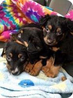 Spaniel (Unknown Type) Mix Puppy for adoption in Alpharetta, Georgia - Ivana