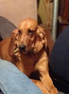Bloodhound Dog for adoption in Fayetteville, Arkansas - Maggie Mae
