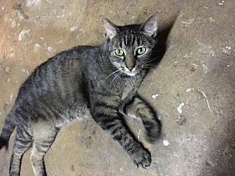 Domestic Shorthair Cat for adoption in Acushnet, Massachusetts - Gretta