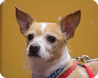 Chihuahua/Terrier (Unknown Type, Medium) Mix Dog for adoption in Coppell, Texas - Chico