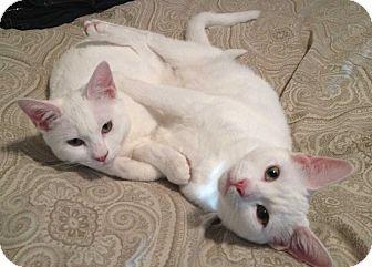 Domestic Shorthair Cat for adoption in Washington Crossing, Pennsylvania - Salt & Sugar Sisters