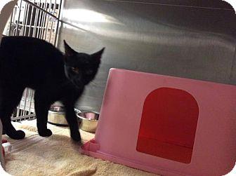 Domestic Shorthair Kitten for adoption in Janesville, Wisconsin - Baba Ghanoush