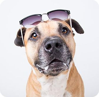 Pit Bull Terrier Mix Dog for adoption in Adrian, Michigan - Zeus