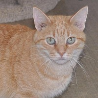 Domestic Mediumhair Cat for adoption in Sunrise Beach, Missouri - Baby