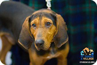 Bloodhound Mix Dog for adoption in Evansville, Indiana - Spruce