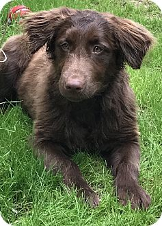 Golden Retriever Mix Puppy for adoption in Navarre, Florida - Sebastian