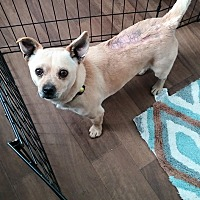 Chihuahua/Pomeranian Mix Dog for adoption in Chattanooga, Tennessee - Sundance(Sunny)