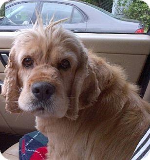 Cocker Spaniel Dog for adoption in Westminster, Maryland - Queenie
