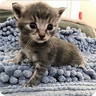 Domestic Mediumhair Kitten for adoption in Huntsville, Alabama - Jango