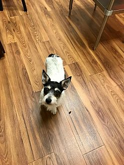 Jack Russell Terrier Dog for adoption in Rocky Hill, Connecticut - Carlos