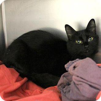 Domestic Longhair Cat for adoption in Richmond, Virginia - Eevee