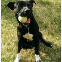 Adopt A Pet :: Fester - McKinney, TX