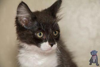Domestic Mediumhair/Domestic Shorthair Mix Cat for adoption in Fountain Hills, Arizona - Puffin II