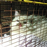 Adopt A Pet :: A446939 - San Antonio, TX