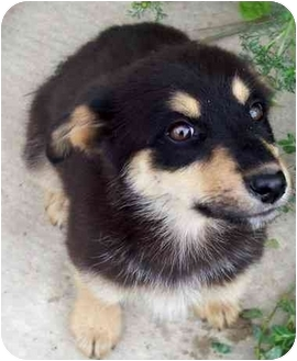German Shepherd Dog/Rottweiler Mix Puppy for adoption in Cold Lake, Alberta - Ruthy