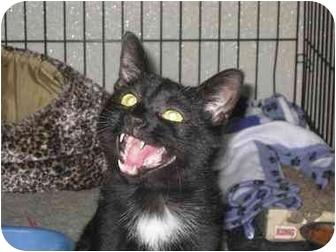 Domestic Shorthair Cat for adoption in Bloomsburg, Pennsylvania - Amos