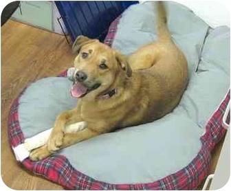 German Shepherd Dog/Labrador Retriever Mix Puppy for adoption in Lake Odessa, Michigan - Bella