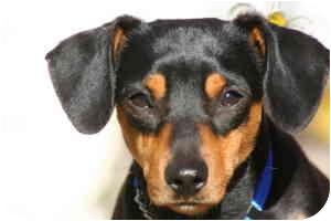 Dachshund/Miniature Pinscher Mix Dog for adoption in Rochester Hills, Michigan - Duncan